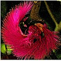 St Kitts Flora by Cindy Manero