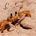 St. Lucia Crab On Beach by Kimberly Perry
