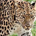 Stalking Amur Leopard by Sarah Cheriton-Jones