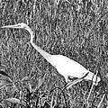 Stalking Egret by Douglas Barnard
