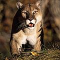 Stalking Mountain Lion by Natural Selection David Ponton