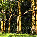 Stand Of Rainbow Eucalyptus Trees by Marilyn Hunt