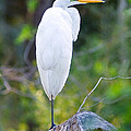 Standing Egret by Scott Hansen