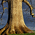 Standing Strong Oak Tree And Storm Clouds by Thomas R Fletcher