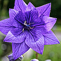 Star Balloon Flower by Susan Herber