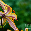 Star Lily by Susan Herber