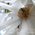 Star Magnolia by Lainie Wrightson