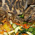 Star Tortoise by Scott Hovind