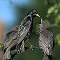 Starlings by Chris Day