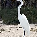 Stately Egret by Sally Weigand