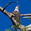 Squawking Alaskan Eagle by Jean Noren