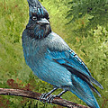 Stellar Jay by Dee Carpenter