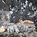 Stellar Sea Lion's Roar by Jennifer Zirpoli