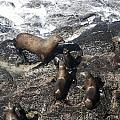 Steller Sea Lion - 0010 by S and S Photo