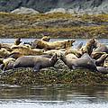 Stellers Sea Lion Eumetopias Jubatus by Konrad Wothe