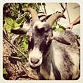 Steve My Goat by Dana Coplin