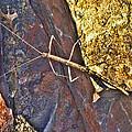 Stick Insect by Douglas Barnard