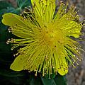 St.johns Wart Bloom by Debra     Vatalaro