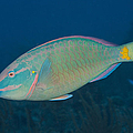 Stoplight Parrotfish On Caribbean Reef by Karen Doody