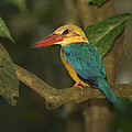 Stork-billed Kingfisher Perched by Tim Laman