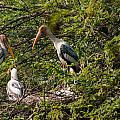 Storks Around A Nest by Ashish Agarwal