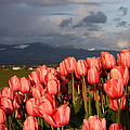 Stormin' Tulips by Jeannine Welfelt