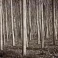 Straight Trees by Guido Montanes Castillo