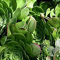 Strand Succulent by Lorraine Devon Wilke