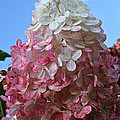Strawberry Vanilla Hydrangea by Susan Herber