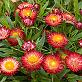 Strawflower Helichrysum Sp Red Variety by VisionsPictures