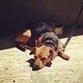 Stretchy In Trouble -_- #dog #puppy by Nena Alvarez
