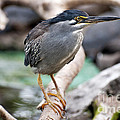 Striated Heron by Fabrizio Troiani