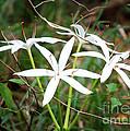String Lily by Carol Groenen