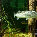 Striped Bass In Aquarium Tank On Cape Cod by Matt Suess