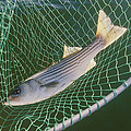 Striped Bass In Net.  The Fish by Skip Brown