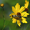 Striped Bee On Wildflower by Peg Urban