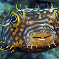Striped Burrfish On Caribbean Reef by Karen Doody