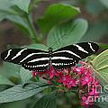 Striped Butterfly by Brenda Doucette