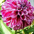 Striped Dahlia by April Patterson