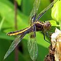 Striped Dragonfly by Mark J Seefeldt