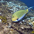 Striped Surgeonfish by Georgette Douwma