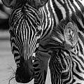 Stripes - Zebra by D'Arcy Evans