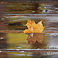 Stuck Maple Leaf by Lila Fisher-Wenzel