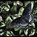 Subdued Butterfly by Sheri Bartoszek