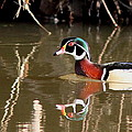 Sucarnoochee River - Suspicious Wood Duck by Travis Truelove