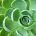 Succulent by Dave Mills