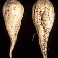 Sugar Beet Breeding by Science Source