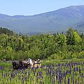 Sugar Hill Horse Tour And Lupines by John Burk