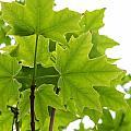 Sugar Maple Leaves by Corinne Elizabeth Cowherd
