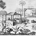 Sugar Production In The West Indies by Everett